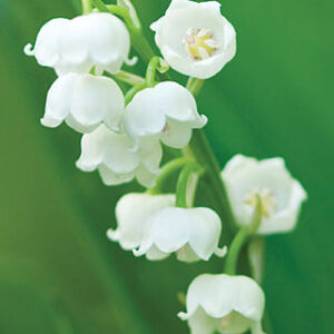 LILY OF THE VALLEY-63